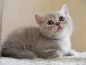 Charakter britská krátkosrstá mačka je vľúdne chytré a  90c5cc6ce5a
